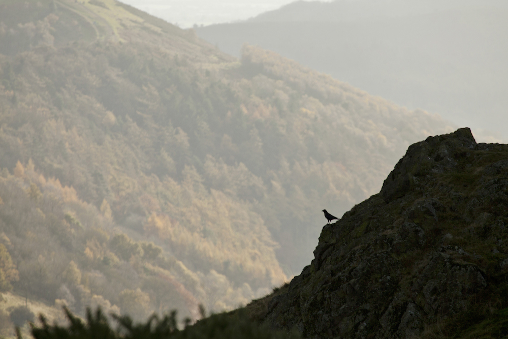 Lone crow on the Malvern Hills