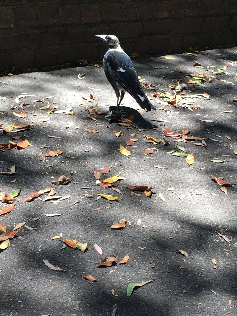 Killer magpie!