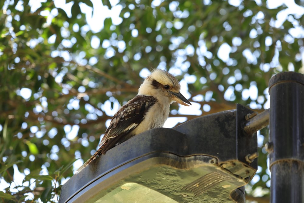 First wild Kookaburra!