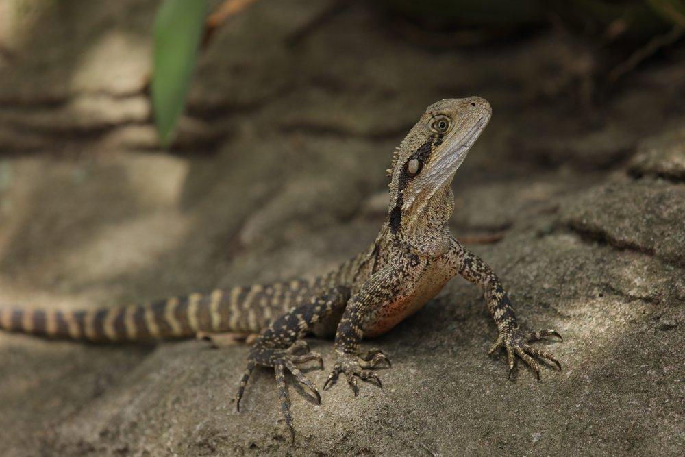 First wild lizard!
