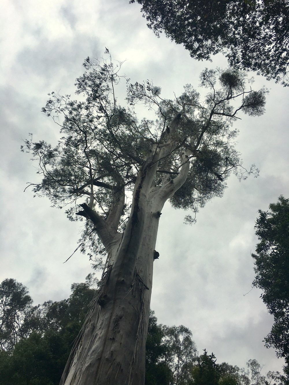 Rainforest eucalyptus tree