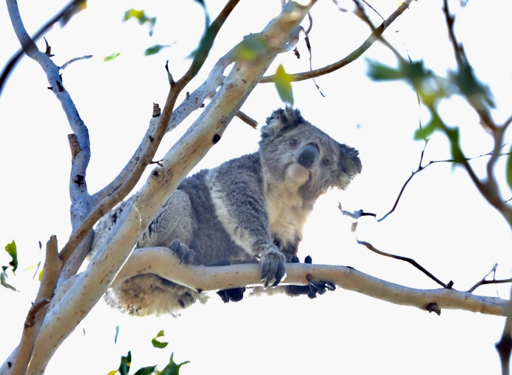 Koalas live solely on eucalyptus & can eat up to 1.5 leaves a day which is why they do not survive well in zoos outside of Australia.