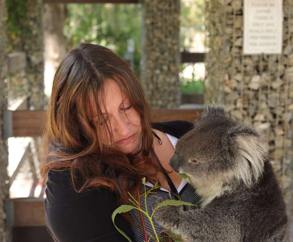 Bella the 3 year old koala, happily munching on her young eucalyptus shoots whilst I cry all over her!!