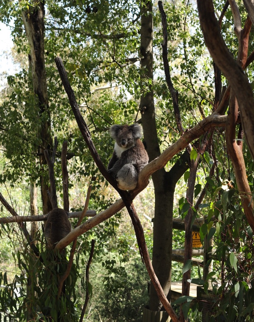 One of the parks resident 12 koalas, they never bring the same one out twice in one day for holding.