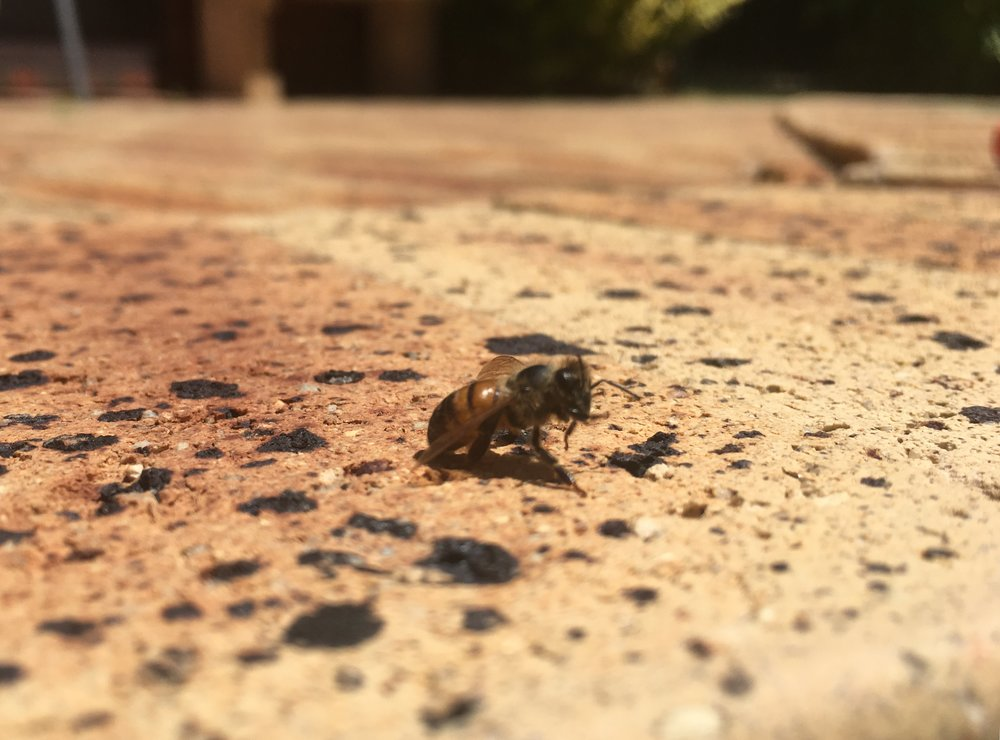 One of two little bees that I rescued from the pool today. They spent 10 mins or so cleaning themselves and then flew away :)