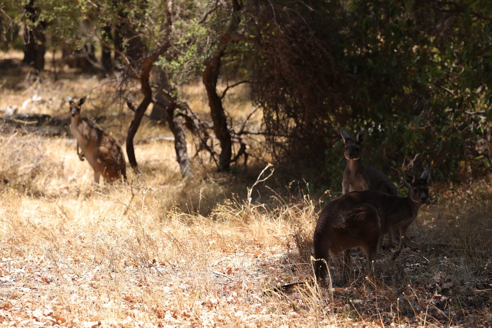 Roos in Yellangonga National Park, Perth