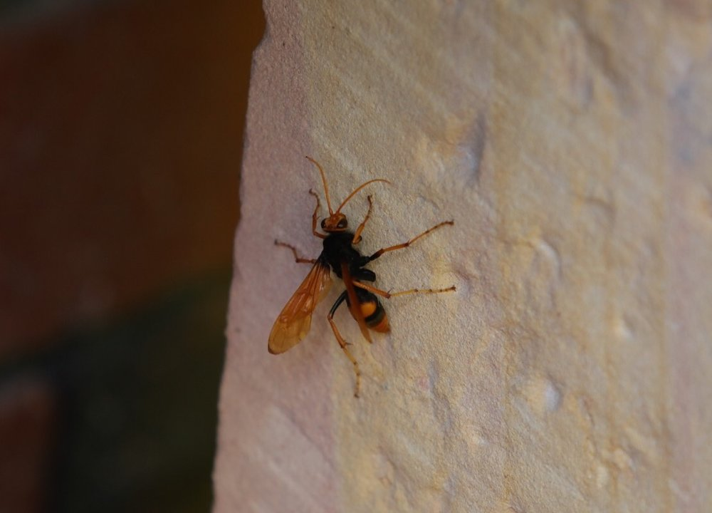 Orange Spider Wasp   https://en.m.wikipedia.org/wiki/Cryptocheilus_bicolor  It kills huntsman & wolf spiders