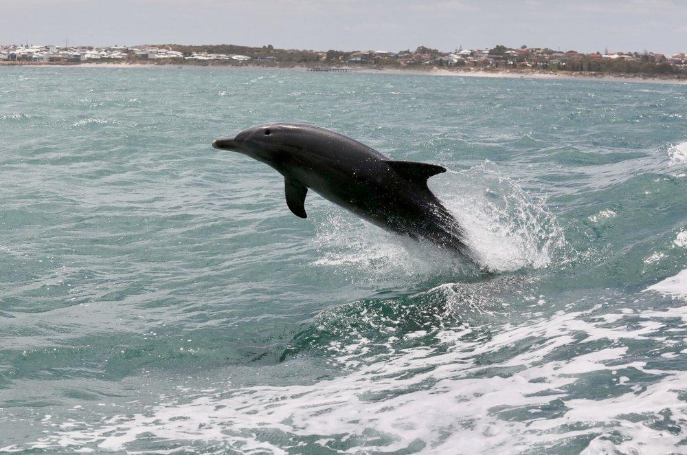 Wild dolphin