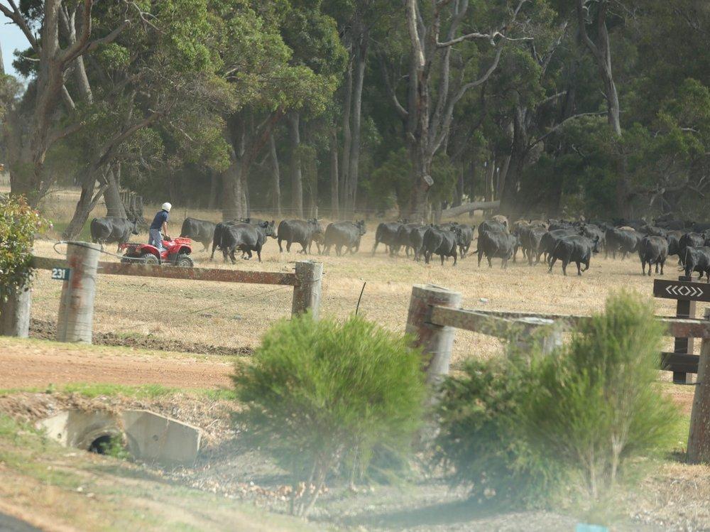 Cow herding Ozzie style!
