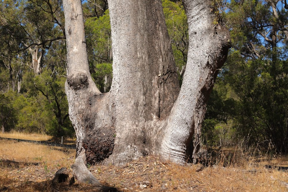 One of the giant eucalyptus trees in the forest