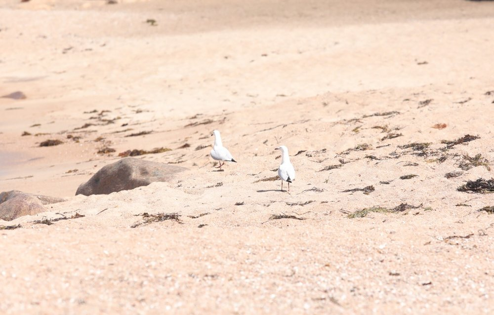 Pair of flirty gulls :)