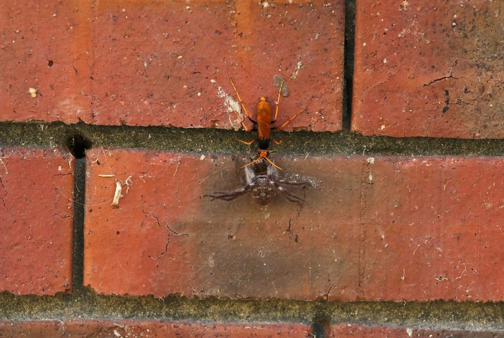 Spider wasp & huntsman spider