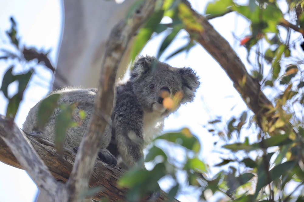 Seeing a wild koala for the first time :)
