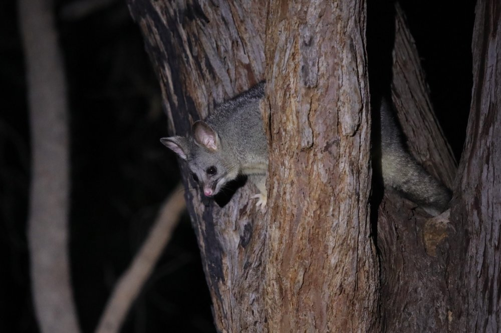 Seeing my first wild possum