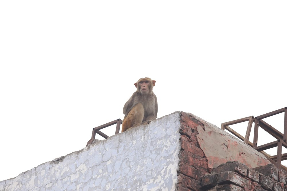 Rhesus monkey keeping look out