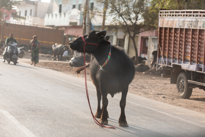Black bullock, Agra, Uttar Pradesh, India