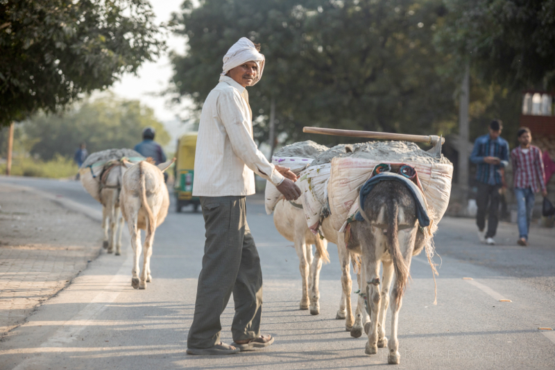 Mules working hard, Agra, Uttar Pradesh, India