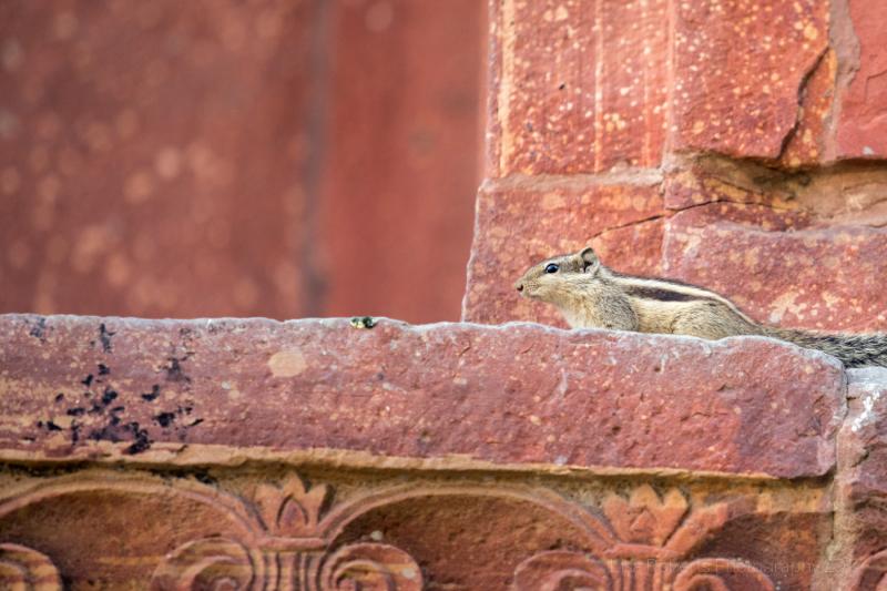 Chipmunk, Agra, Uttar Pradesh, India