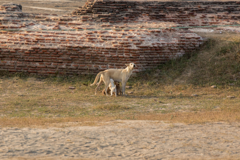 Street dog and pup, Agra, Uttar Pradesh, India