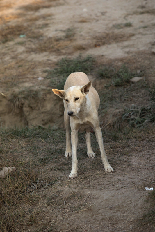 Street dog 2, Agra, Uttar Pradesh, India
