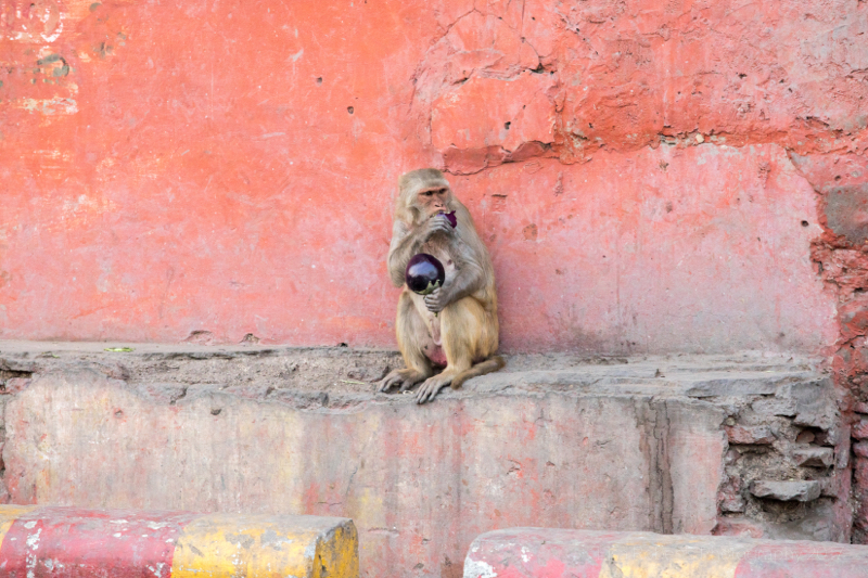 Rhesus macaque with eggplant (aubergine), Agra, Uttar Pradesh, India