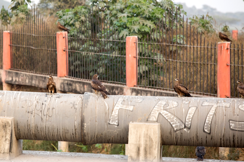Red kites on pipe, Agra, Uttar Pradesh, India