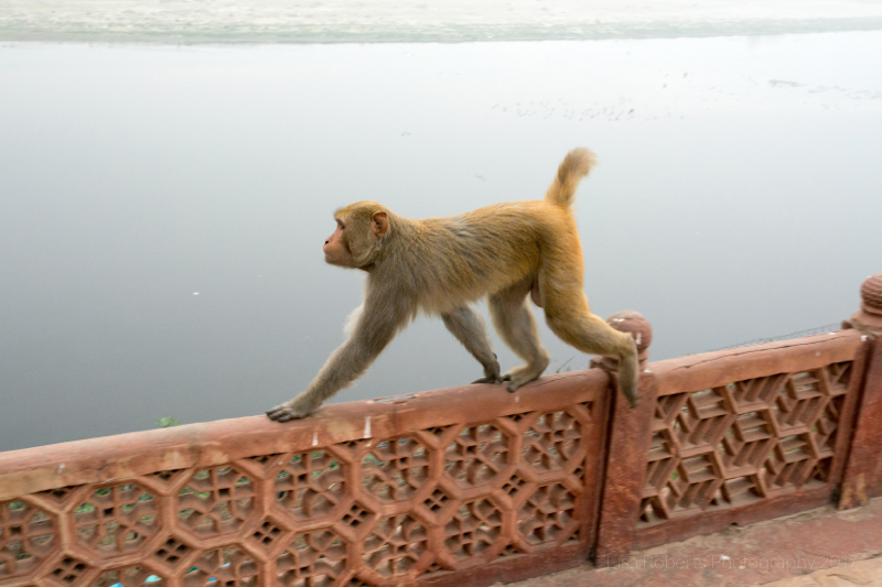 Rhesus Macaque monkey at the Taj Mahal, Agra, Uttar Pradesh, India