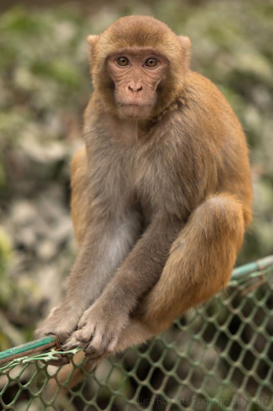 Rhesus Macaque 3, Agra, Uttar Pradesh, India