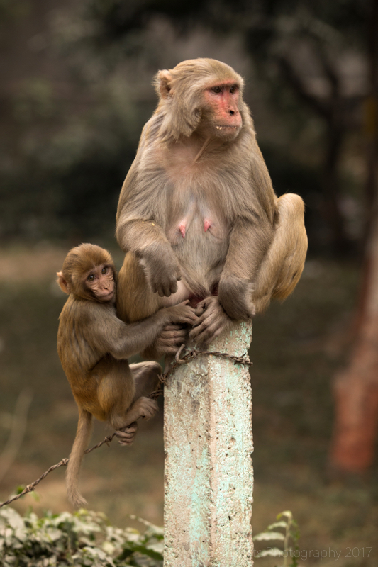 Adult and infant Rhesus Macaque, Agra, Uttar Pradesh, India