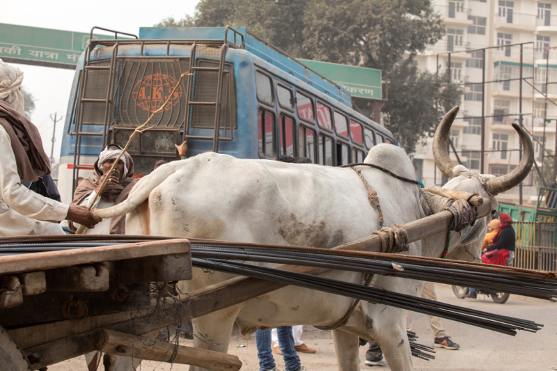Driving Oxen cart, Man in turban, Mathura, Uttar Pradesh, India