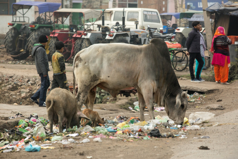 Cattle and pigs foraging, Kosi Kalan, India