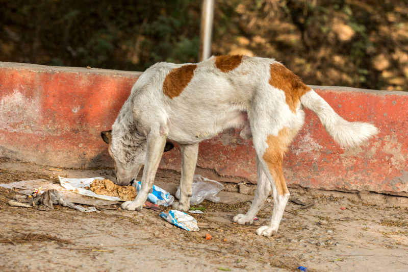 Street dog eating scraps, New Delhi, India