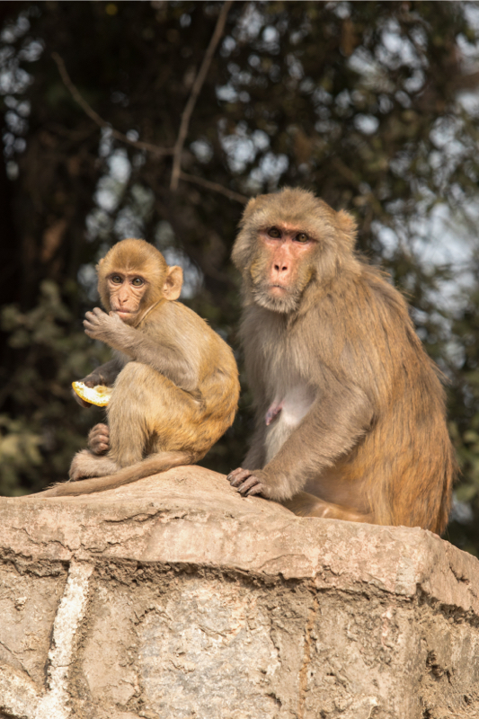 Mother and young Rhesus Macaque, New Delhi India