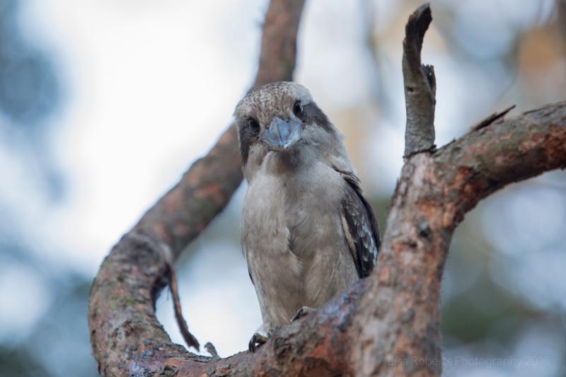 Kookaburra, Boodereee National Park, NSW,Australia