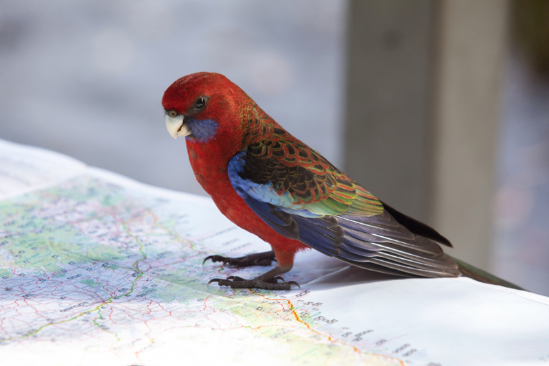 Crimson Rosella,Boodereee National Park, NSW, Australia
