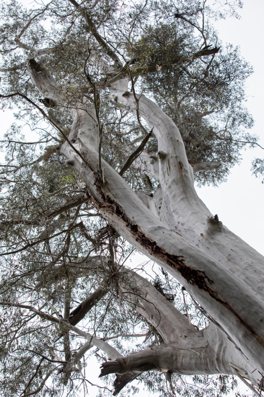 Eucalyptus Tree, Bemm River Rainforest walk, Victoria, Australia