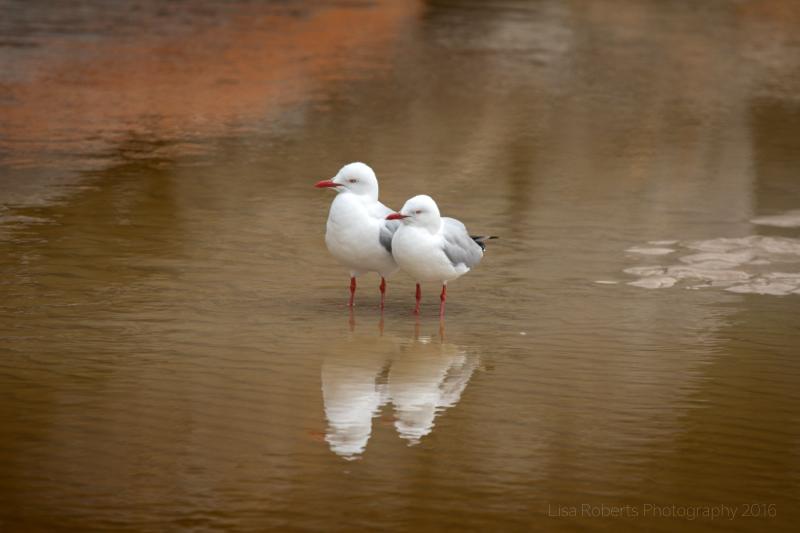 Seagulls, Tidal River Beach,Wilson's Promontary, Victoria, Australia