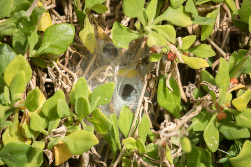 Funnel web spiders 'lair', Cockatoos, Tidal River Beach, Wilson's Promontary, Victoria, Australia