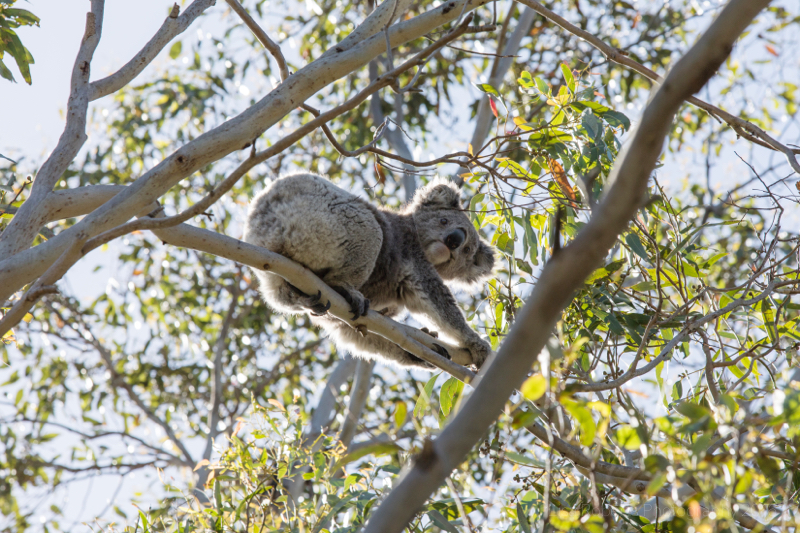 Wild Koala Bear, Victoria, Australia