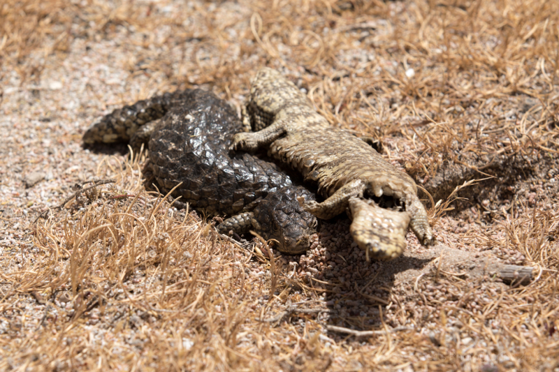 Shingleback Lizard (Stumpy-tailed lizard) with carcass Coorong National Park, South Australia