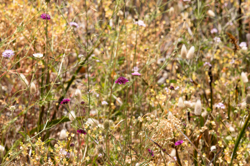 Grasses & wild flowers, Coorong National Park, South Australia