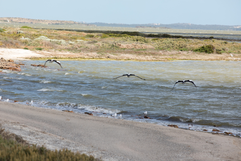 Pelicans on the Coorong Lagoon, Coorong National Park, South Australia
