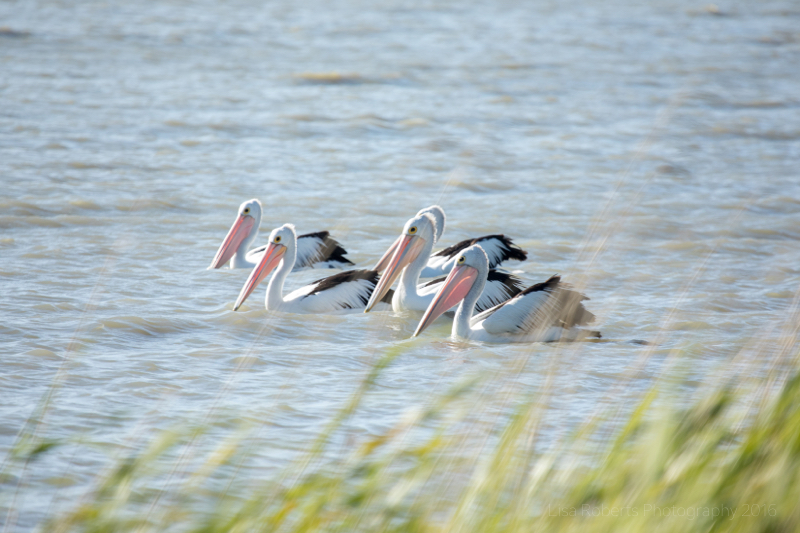 Pelicans on Lake Albert, South Australia