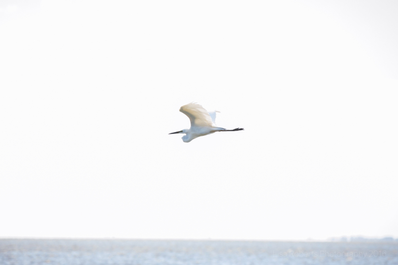 Pelican in flight, Pelicans on Lake Albert, South Australia