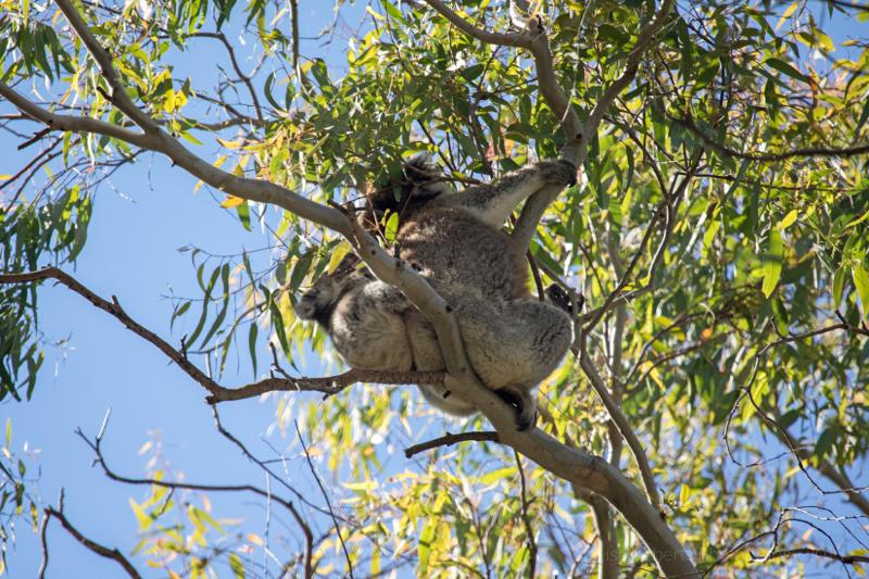 Wild koala & her joey, Adelaide, South Australia