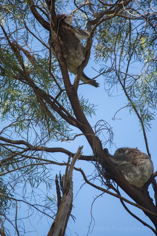 Wild koalas, Adelaide, South Australia