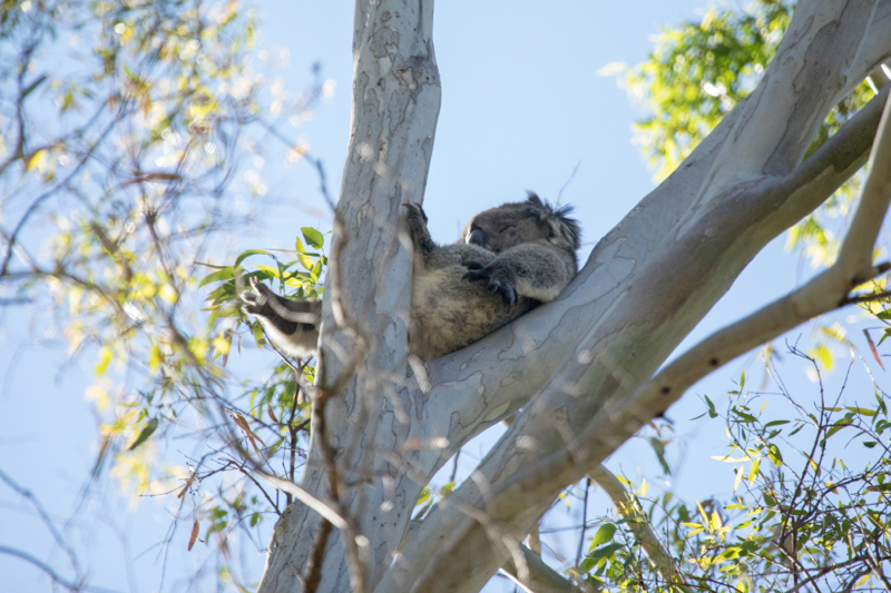 Wild koala relaxing, Adelaide, South Australia