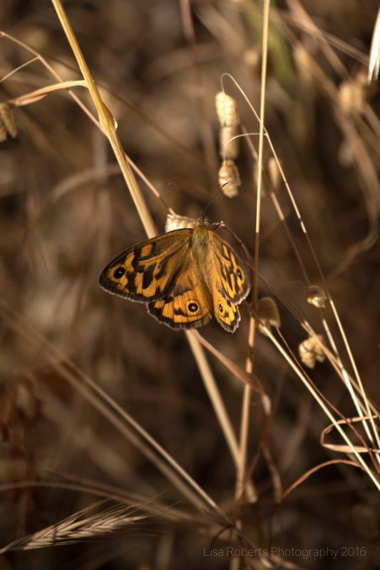Common Brown Butterfly, Adelaide, South Australia