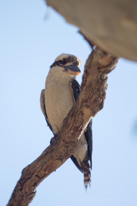Kookaburra, Adelaide, South Australia