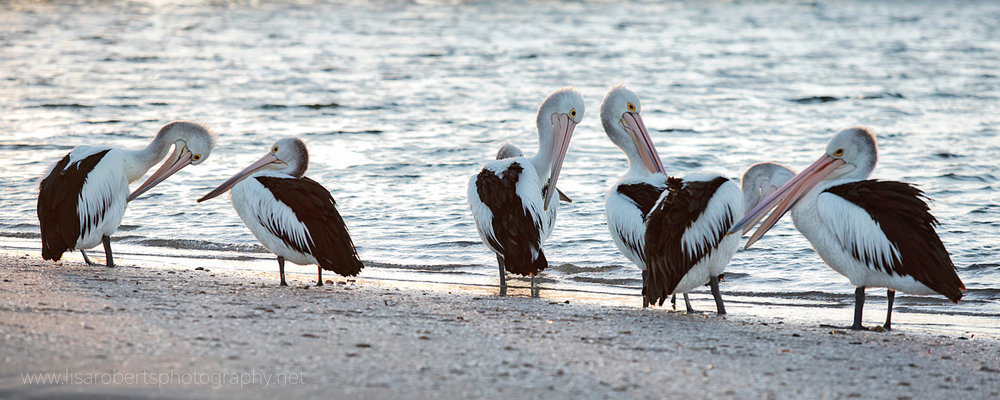 Pelicans preening, Smoky Bay, South Australia